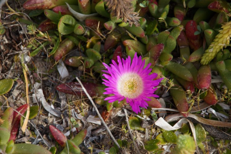 Flower on Beach at Village Green, Waterhouse Conservation Area