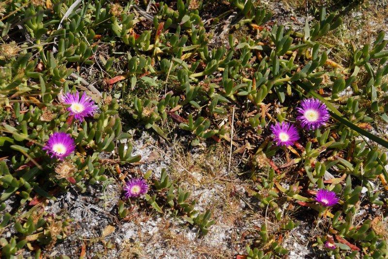 Flowers on dune