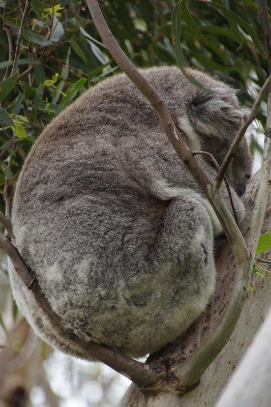 Koala at the Australian Koala Conservation Centre (12)
