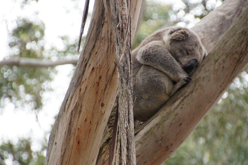 Koala at the Australian Koala Conservation Centre (17)
