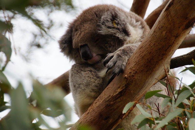 Koala at the Australian Koala Conservation Centre (6)