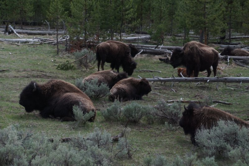 National Park - Madison to West yellowstone - bison 5