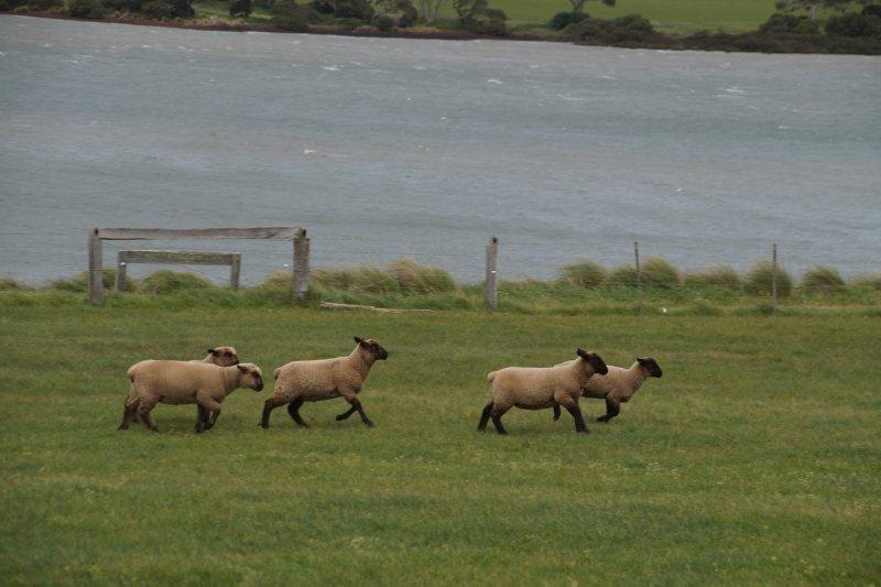 Sheep at Churchill Island Heritage Farm