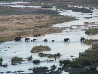 Herd of elephants cross the Letaba river in Kruger National Park