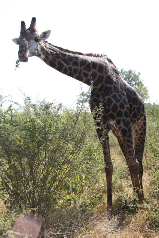 Inquisitive giraffe in Kruger National Park