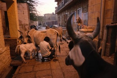 Milking cows in front of our hotel, Jaisalmer, Rajasthan