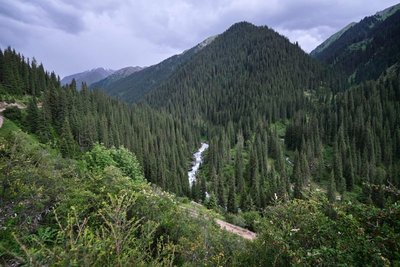 Pine forests of Altyn-Arashan