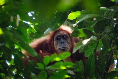 Orangutans in the forest, Bukit Lawang