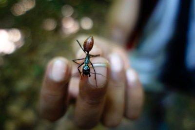 Giant ant, Bukit Lawang