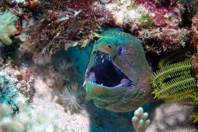Moray eel, Komodo