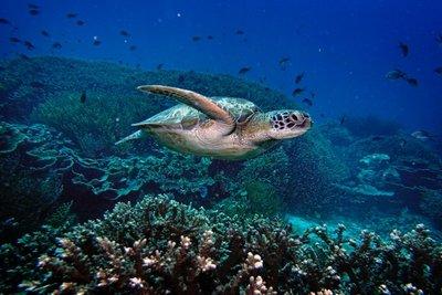 Green turtle, Komodo