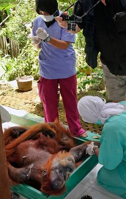 Weighing an orangutan