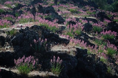 Flowers growing in the lava fields around Mt. Etna