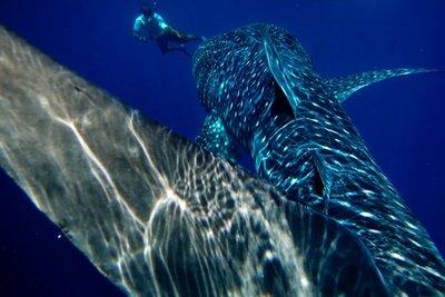 whale_shark_014.jpg