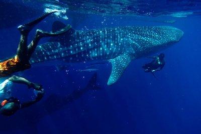 whale_shark_016.jpg