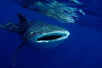 whale_shark_019.jpg