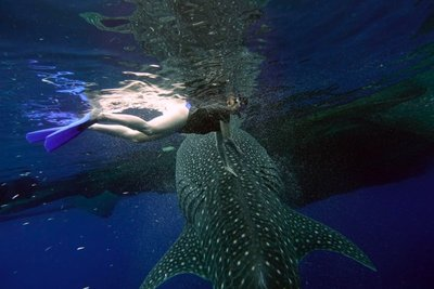 Hands on the whale shark