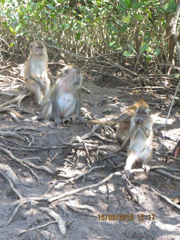 Mangrove Monkeys 1