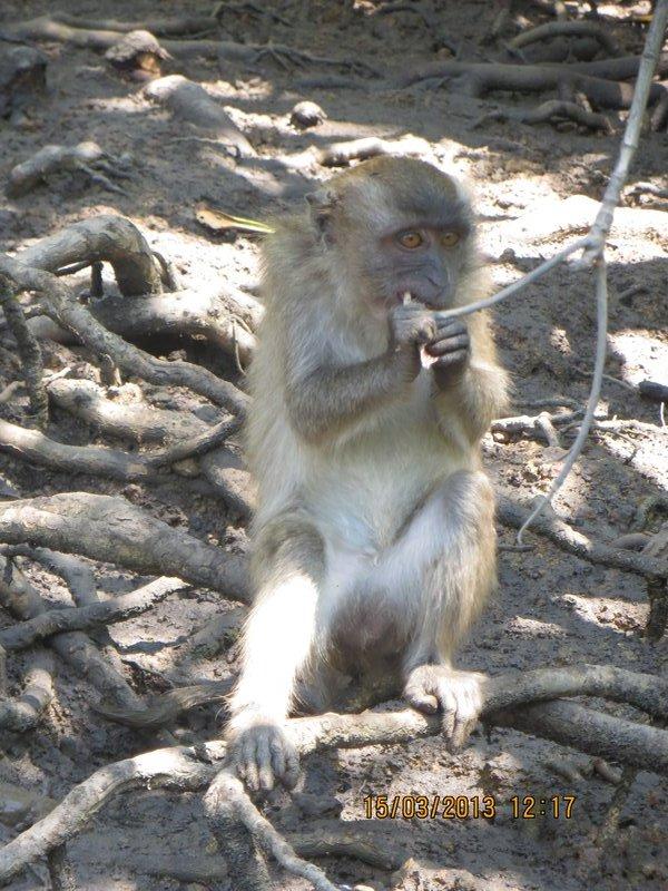 Mangrove Monkeys 2