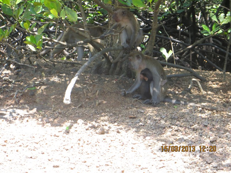 Mangrove Monkeys 3