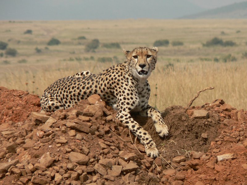 cheeta in Masai Mara