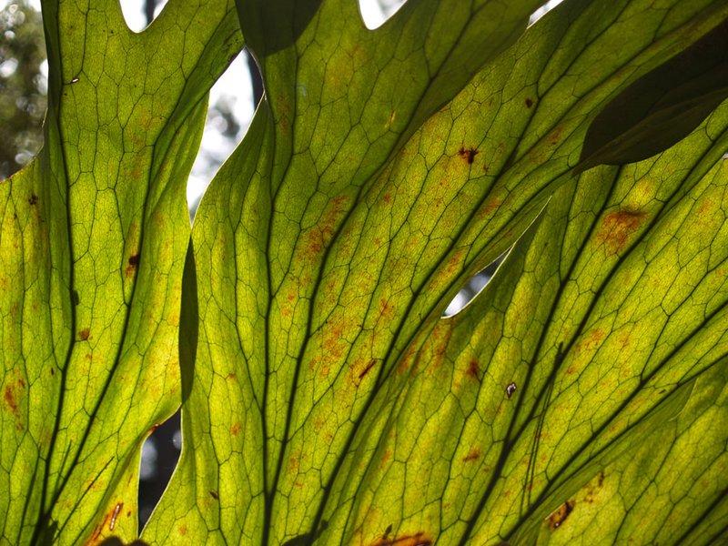 Fraser Island - Parasitic Fern in sunlight