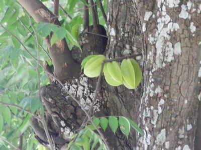 Sternfruchtbaum