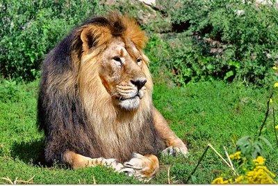 Tiergarten Zoo Lion