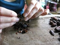 Fèves de chocolat à la ferme Iguana Chocolat