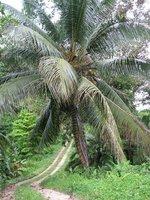 Panama - Bocas del Toro - La passion des palmiers