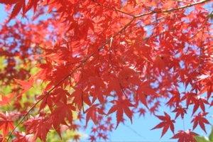 Miyajima - Red Leaves