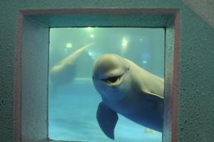 Miyajima - Aquarium Smiling Porpoise