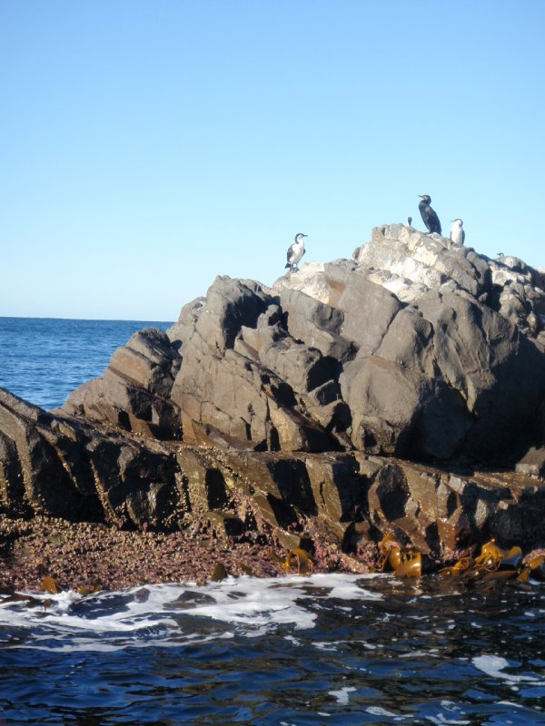 Black Faced Cormorants, Bruny Island
