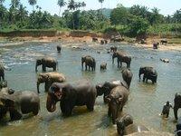 Elephants bathing in river at Pinnewela
