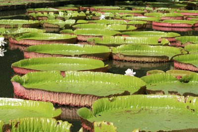 Giant lily pads