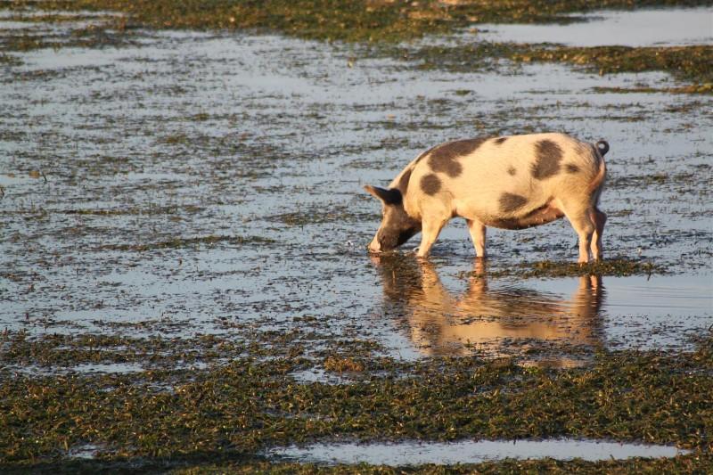 Pig on a beach!