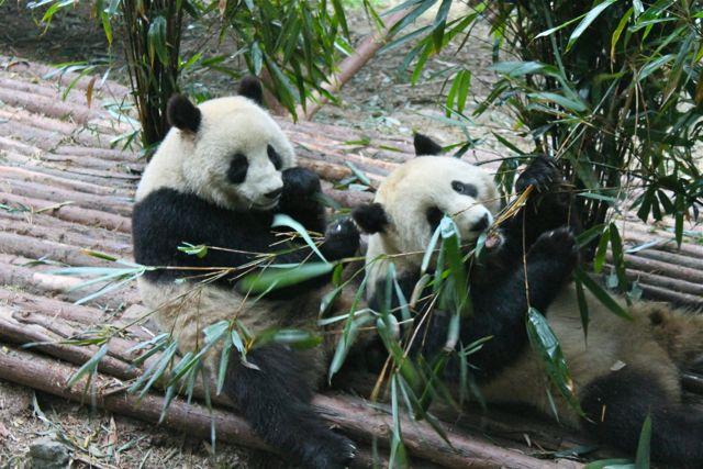 large_panda1.jpg