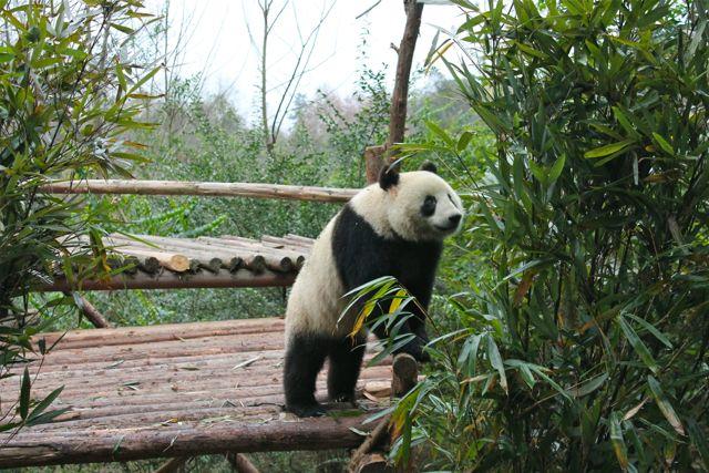 large_panda2.jpg