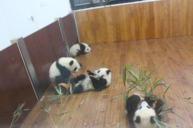 large_panda4.jpg