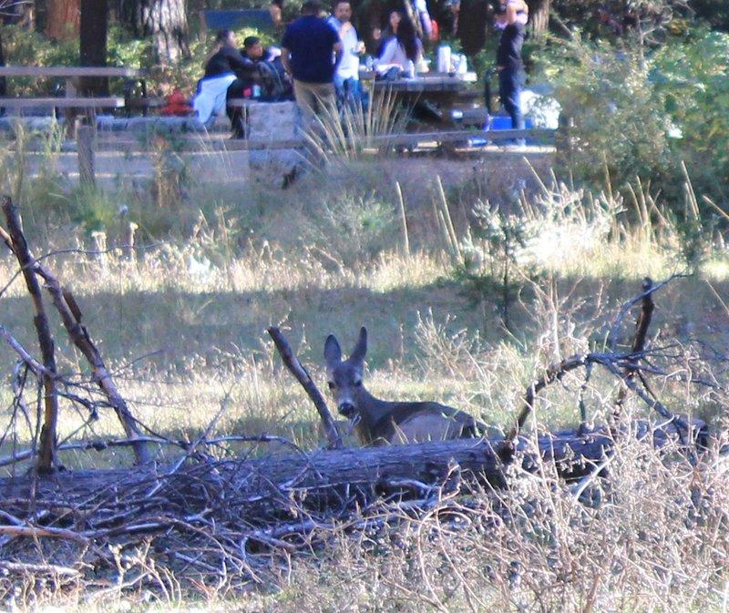 large_Deer_at_Yosemite_2.jpg