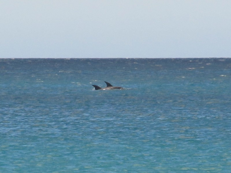 Dolphins in Wineglass Bay