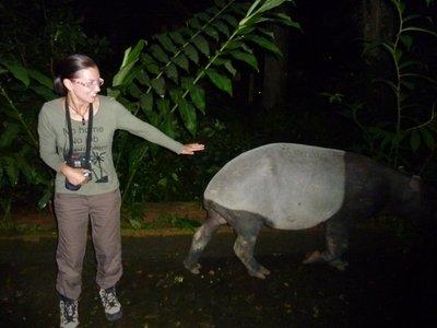 Tapir at Taman Negara