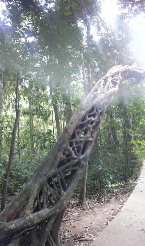 Intricate rainforest tree root