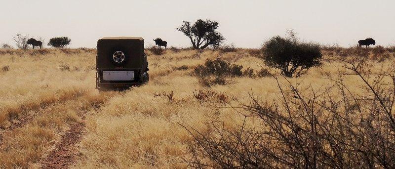 Kalahari Desert Gnu
