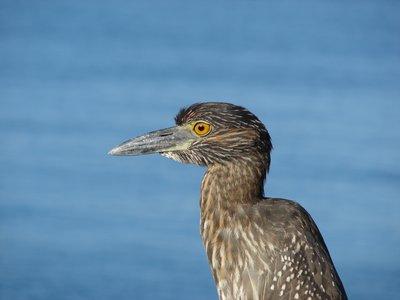 Juvenile Night Heron Isla Genovese