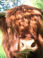 The Heilan' Coo