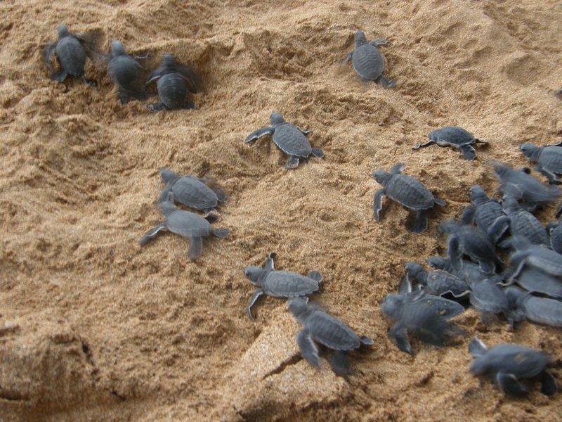 Lâcher de bébés tortues