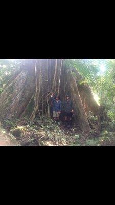 Jungle huge tree