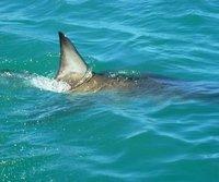 Shark Diving, Gansbaii, South Africa