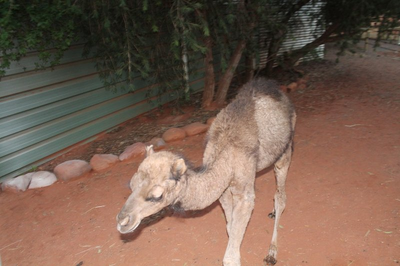 Nibbles - the baby camel